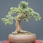 Bonsai - Need4Flowers
